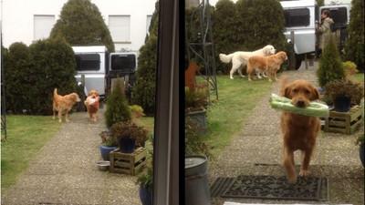 媽媽最佳小幫手!黃金獵犬貼心叼貨進家門