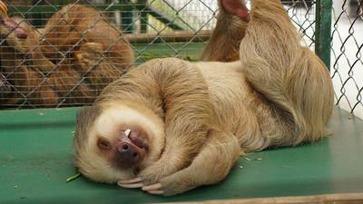 「樹懶」轉世10特質:一號表情、躺著都要吃