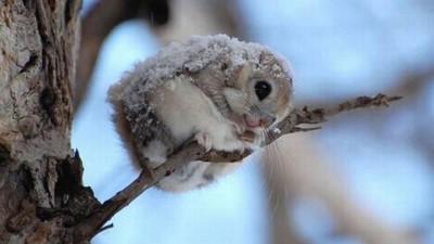 科學家眼中最萌生物,可以養日本矮飛鼠嗎?