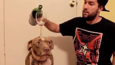 超乖鬥牛犬Eve,不能陪喝酒但是幫你頂酒杯 !