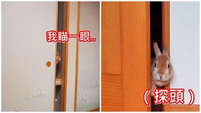 忍不住偷窺的兔兔..人家只是好奇你在幹嘛(◕x◕)