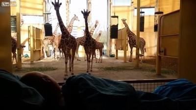 看到動物園清潔工垂死臥床,長頸鹿給了他一吻告別
