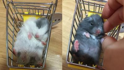 鼠寶寶坐推車萌睡覺,被推去賣掉怎麼辦>//<