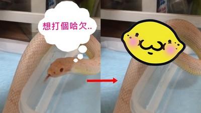 明明是可怕蛇蛇,打起哈欠竟意外有萌點
