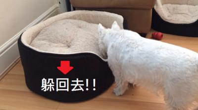 白㹴躲貓貓被找到,依然死皮賴臉不出來(硬躲