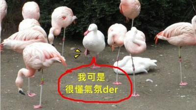 所謂「鴨立鶴群」?這是一隻會看場合的鴨子