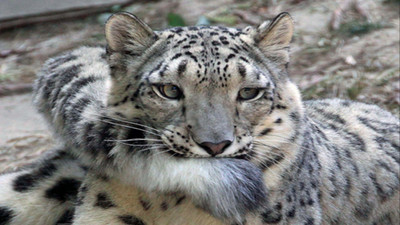 雪豹也愛叼尾巴?那觸感據說像小被被一樣安心
