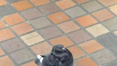 小胖鴿在人行道一屁股坐下,根本是累壞的歐吉桑啊