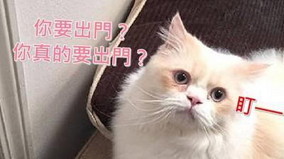 據說被這隻貓盯上的人,沒一個捨得出門..