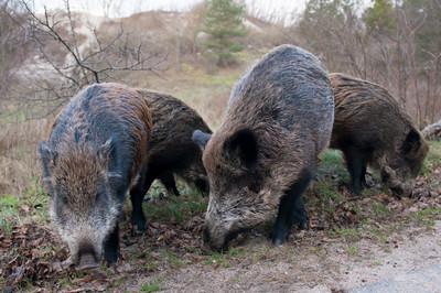 野豬殺人 女看護陳屍他家前院