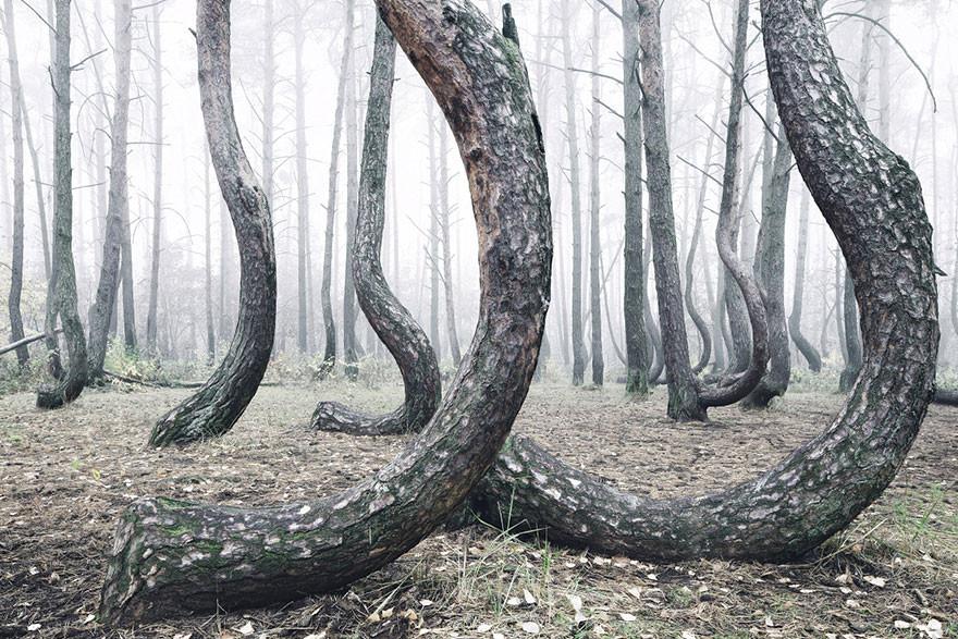 波蘭「陰森林」,400棵樹詭異彎同一邊
