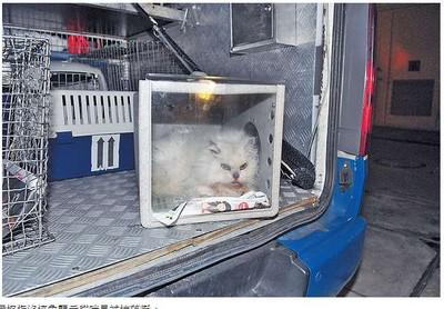 香港白色安哥拉貓流鼻血搭救護車