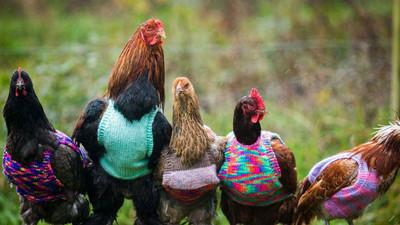 「慈母手中線,遊雞身上衣」她為脫毛母雞織新衣過冬