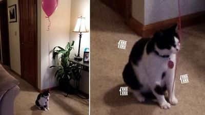 能讓貓咪乖乖待在原地的,大概只有汽球了