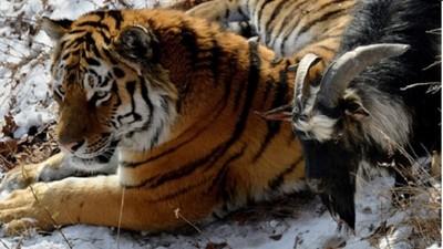 從老虎餌食變成親密床伴 黑山羊唱秋魅力救了牠一命