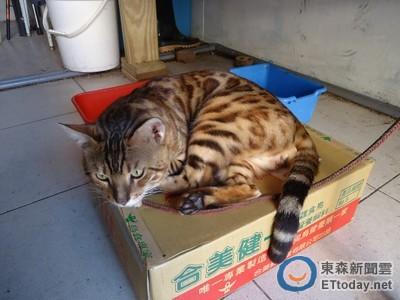寵物店被通報聘「石虎」招財? 咪妮只是隻撒嬌豹貓啦
