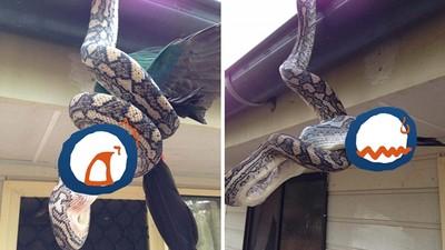 屋頂倒吊2公尺巨蟒,鸚鵡就這樣被吞掉了..(°Д°)