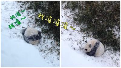 1歲貓熊第一次看到雪,興奮到變成巨大麻糬啦!