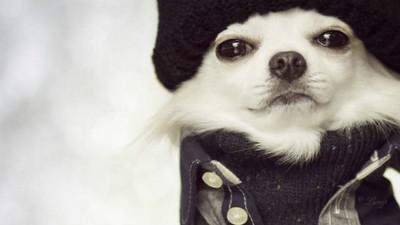 雪精靈吉娃娃冬裝秀!迷幻電眼秒殺了我的心