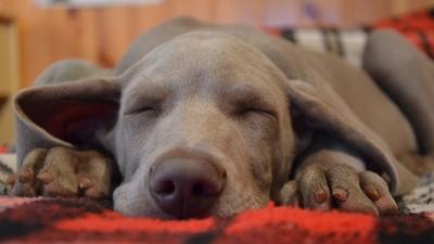 睡姿會透露狗狗的心理狀態?快看看你家汪星人