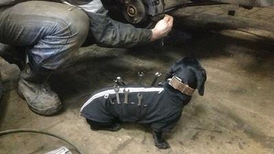 俄羅斯修車廠最萌小幫手,牠是一條狗 °(òܫó)°