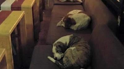 最暖咖啡廳 每晚都門開開讓流浪毛孩在沙發睡暖暖