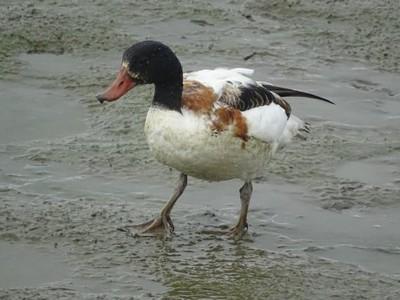 宜蘭塭底大白鵝 近距離看花鳧