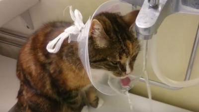 貓咪優雅的秘密!喵頭戴護頸圈2段式喝水法看過嗎