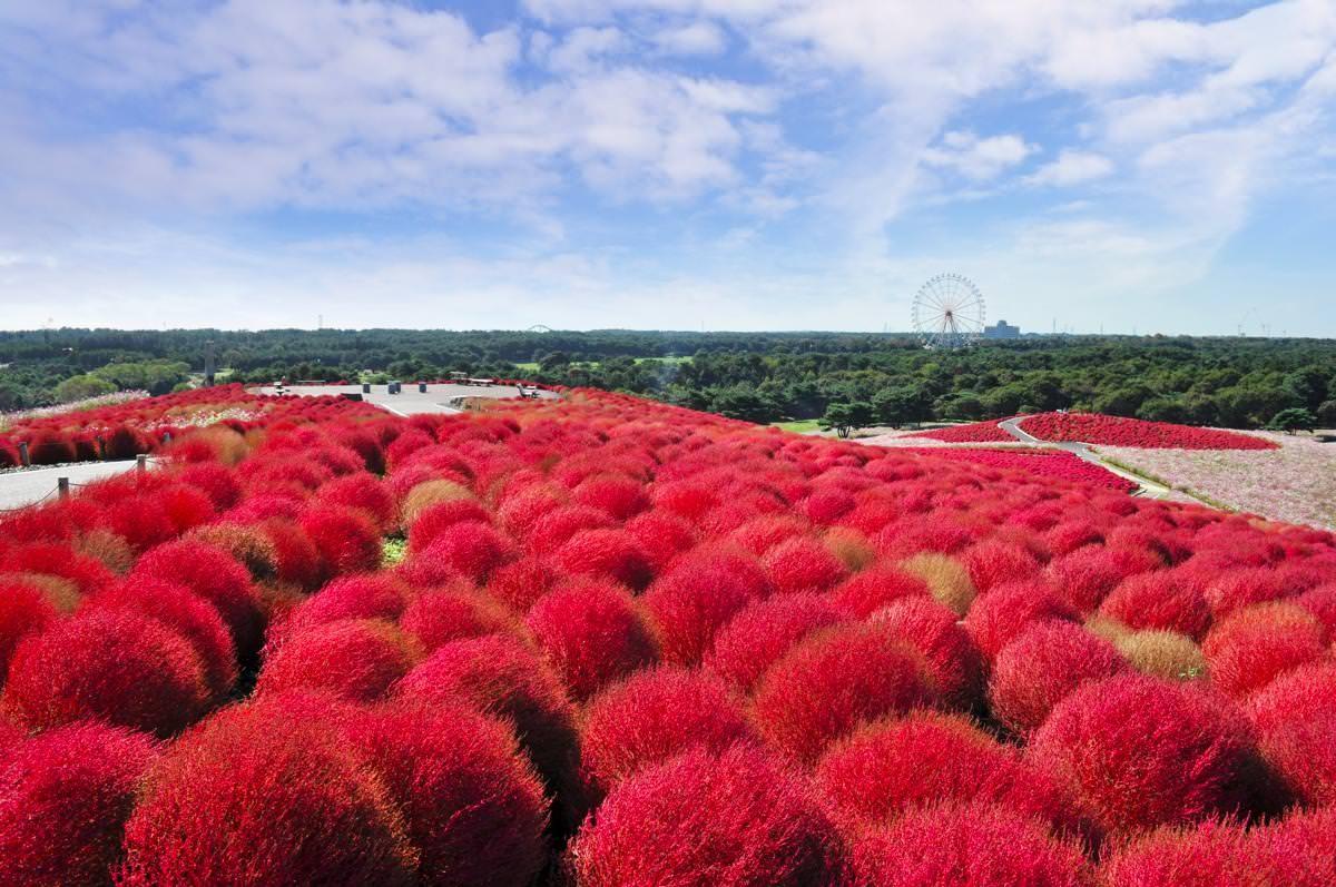 ▲日本茨城縣常陸海濱公園(又稱HITACHI日立海濱公園)。(圖/常陸海濱公園提供)
