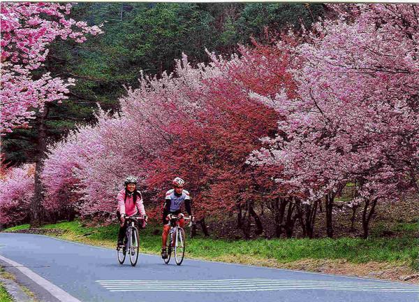 被粉紅浪漫包圍!武陵農場櫻花季2/11開跑 日限6千人