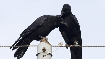 「頭髮亂了幫你抓抓」烏鴉幫理毛…欸怎麼弄更亂了