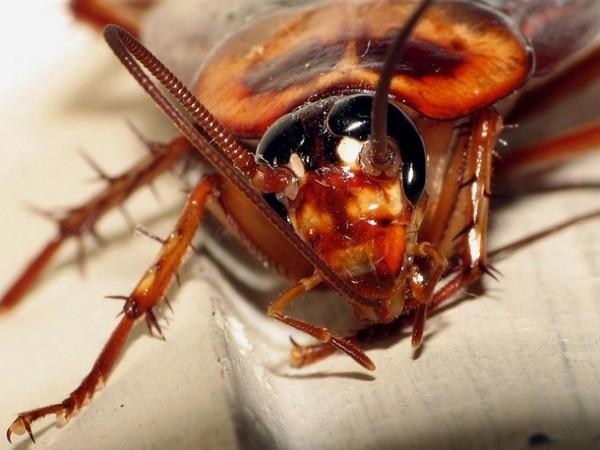 小強「暴力進化」不吃甜食 蟑螂藥已經阻止不了牠們了