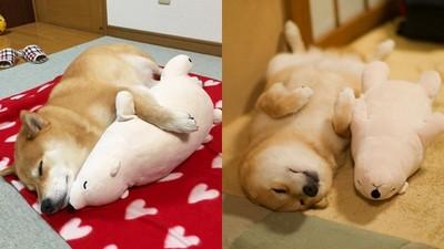 丸太郎❤北極熊愛相隨!一起仰天睡睡不孤單Zzz