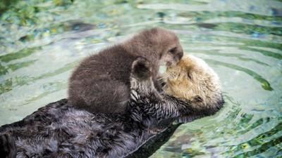 媽媽就是你的浮板~初生小海獺躺媽咪肚子上好像玩偶啊