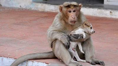 獼猴收養小狗,面對野狗勇敢奮戰不讓幼犬受欺負!