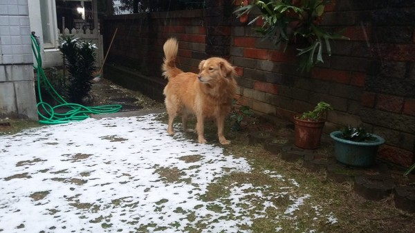 「雪地黃金犬」嚇呆啦!「海拔僅200M」桃園楊梅也下雪