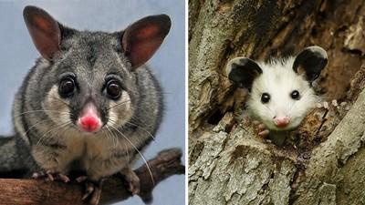 古錐澳洲袋貂&北美負鼠,圓圓大眼萌化我的心