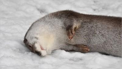 雪季限定打滾水獺,軟Q身形抹點雪更有嚼勁(誤)