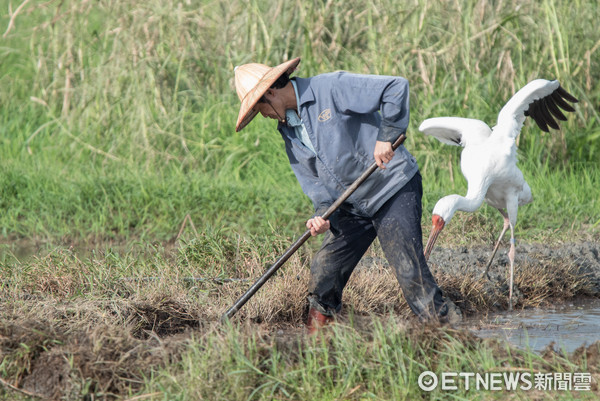 金山小白鶴,老農,農夫,白鶴,西伯利亞白鶴(圖/記者季相儒攝)