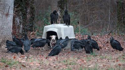 失去愛的悲歌!被禿鷹包圍盼著牠的死亡...
