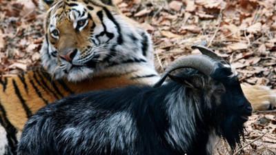 老虎餌食→親密床伴的山羊太囂張 這次終於被教訓了…