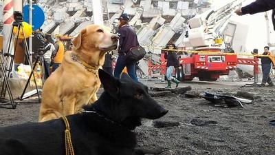 搜救犬救災腳受傷..發出「嗚嗚」聲想繼續救援QQ