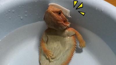 小蜥蜴霸氣泡澡,牠有張瞧不起人類「土豪臉」