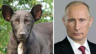 那些長得超像名人的動物..狗狗你也和普丁一樣霸氣嗎