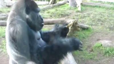 噁心到很療癒,大猩猩撇完條吃掉還分給孩子...