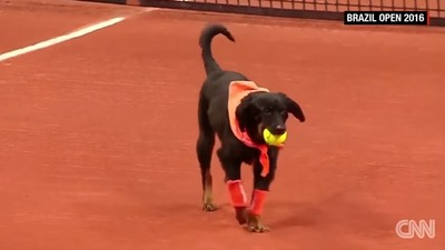 流浪狗變球童,網球公開賽上場幫撿球…欸球要還我啊