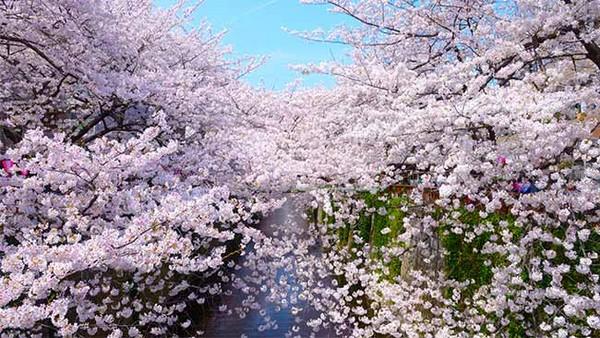 目黑川櫻花林河岸奇幻夢境!東京十大必訪絕美賞櫻名所