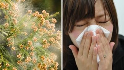 這花粉症只有日本人會得?!幕後兇手是「柳杉」
