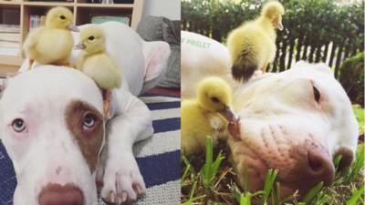 主人領養了兩隻鴨回來,沒想到家裡的地位就變了..