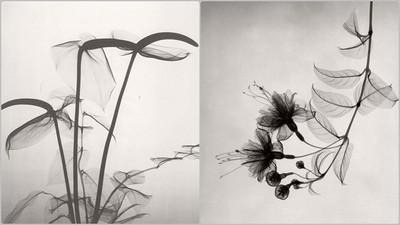 這不是水墨畫,醫生用X線捕捉「鮮花的骨骼」